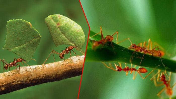 Mengapa Semut Berbaris Lurus Saat Berjalan, Ternyata Alasannya Mengejutkan