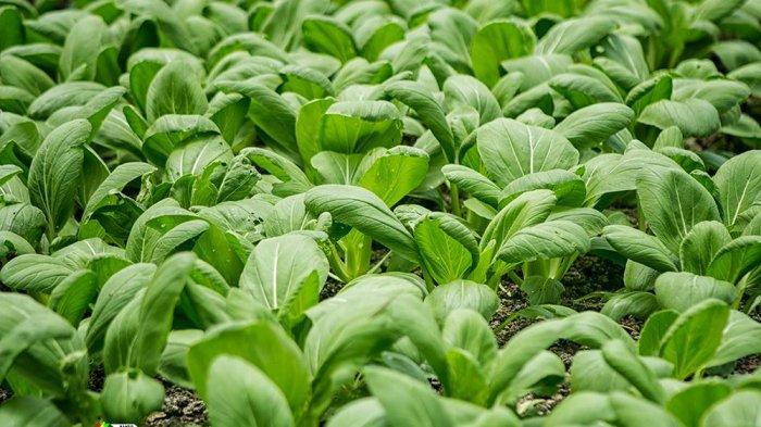 Tips Melakukan Penanaman Holtikultura di Musim Hujan