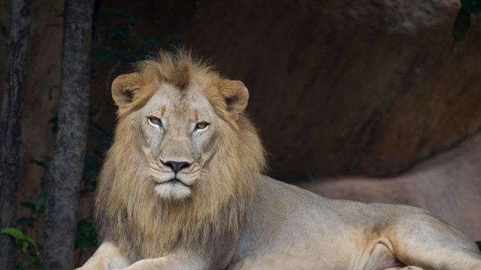 Mimpi Tentang Singa, Waspadai Sosok Ini, Cirinya Punya Kuasa Dendam Mau Habisi Karir dan Hidupmu
