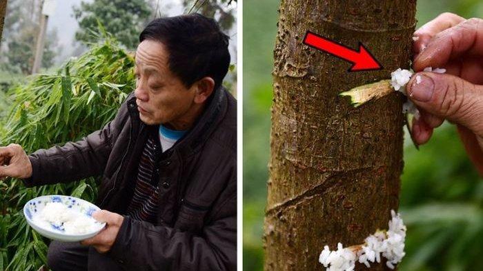 Bukan Pupuk, Warga di China Justru Beri Nasi pada Pohon Agar Subur dan Berbuah Lebat