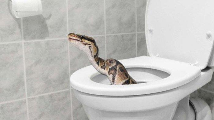 Pria Ini Kaget Ular Kobra Sembunyi di Toilet, Sempat Mendesis Saat Susah Payah Dikeluarkan