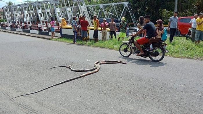 Ular Kobra Sedang Kawin Dikejar Warga Kemudian Ditembak Tapi Bertahan Lari ke Jalan