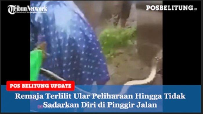 Video - Leher Remaja Dililit Ular Piton Peliharaan hingga Pingsan di Pinggir Jalan