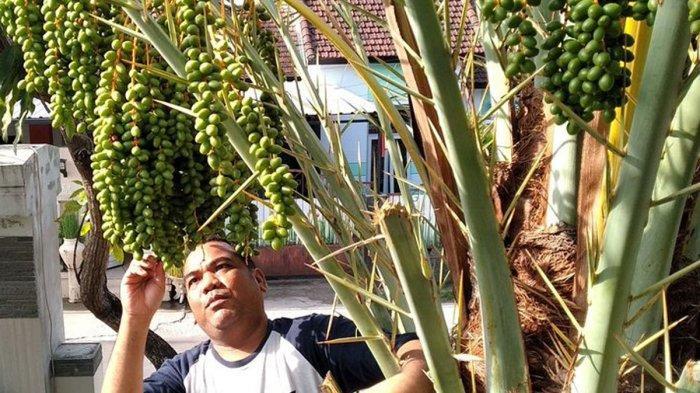 Viral Pohon Kurma Berbuah Lebat di Mataram, Semula Dikira Pohon Salak atau Palem