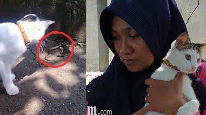 Kisah Kucing Widarti Lawan 3 Kobra di Mojokerto, 2 Ular Mati Digigit, 1 Sembunyi di Pekarangan Rumah