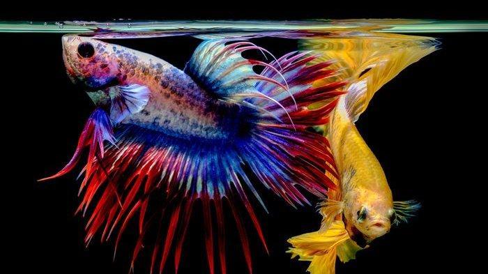 Sejarah Asal Usul Nama Ikan Cupang dan Penemunya, Ketahui Fakta Menarik dan Cara Merawatnya