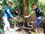20210616-anggota-damkar-bpbd-kabupatrn-belitung-saat-mengevakuasi-ular.jpg