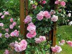 20210706-ilustrasi-tanaman-bunga-mawar.jpg