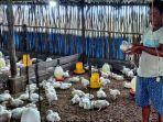 20210906-pekerja-di-kandang-ayam-milik-indra-budiman-di-desa-air-batu-buding.jpg