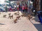 aksi-gerombolan-monyet-dalam-berebut-makanan.jpg