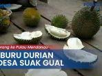 berburu-durian-ke-desa-suak-gual-belitung.jpg