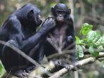 bonobo-spesies-primata-anggota-genus-simpanse.jpg