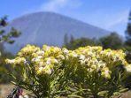 bunga-edelweiss-di-gunung-semeru.jpg