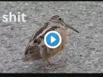 burung-joget_20170508_162200.jpg