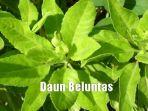 daun-beluntas_20180906_102640.jpg