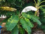daun-pisang-warna-putih-menjadi-pemandangan-langka.jpg