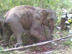 gajah-liar_20180512_150044.jpg