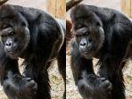 gorila-yang-langsung-pasang-wajah-ganteng-saat-lihat-kamera_20180523_112538.jpg