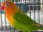 harga-lovebird-kepala-emas-dewasa-mencapai-rp-1-juta.jpg