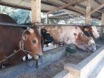 hewan-kurban-sapi-yang-dijajakan-di-sapi-center.jpg