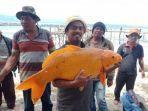 ikan-mas-raksasa-danau-toba-ditangkap-lagi-di-tao-silalahi-7-agustus-2020.jpg