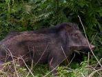 ilustrasi-babi-hutan-yang-menyerang-warga-di-kabupaten-minahasa-selatan-3.jpg