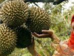 ilustrasi-buah-durian-1.jpg