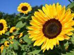 ilustrasi-bunga-matahari-xx.jpg