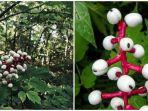 ilustrasi-kolase-tanaman-actaea-pachypoda-atau-white-baneberry.jpg