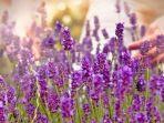 ilustrasi-lavender.jpg