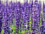 ilustrasi-tanaman-lavener.jpg
