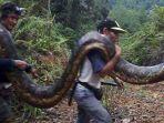 ilustrasi-warga-di-serawak-malaysia-bunuh-dua-ekor-ular-piton.jpg
