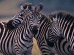 ilustrasi-zebra.jpg