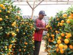 jeruk-imlek.jpg