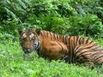jumlah-harimau-benggala_20150810_122920.jpg