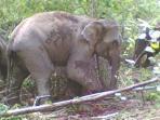 kawanan-gajah-liar_20161008_141901.jpg