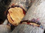 kayu-berdarah.jpg