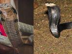 kiri-king-kobra-dan-kanan-kobra.jpg