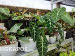 koleksi-tanaman-hias-milik-aully-amarta-di-pekarangan-rumahnya-senin-2792021.jpg