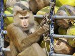 monyet-nangkring-di-truk-setelah-memanen-kelapa-di-kebun-thailand.jpg