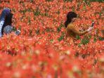 pengunjung-berada-di-taman-kebun-bunga-amarilis-patuk-gunungkidul-di-yogyakarta.jpg
