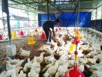 peternak-ayam-saat-sedang-menangkap-ayam-di-kandang_20180613_140125.jpg