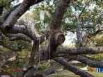 pohon-berusia-7-abad_20180423_224831.jpg