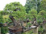 pohon-bonsai-koleksi-fuyumi-dan-sheiji-iimura.jpg