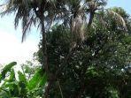 pohon-kelapa-unik-bercabang-9.jpg