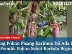 pohon-pisang-aneh.jpg