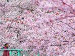 sakura-jepang.jpg