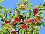 satu-buah-apel-ternyata.jpg