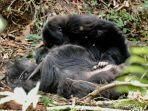 seekor-anak-gorila-terlihat-sedang-berduka.jpg