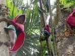 siti-hajar-35-memanjat-pohon-pinang-milik-warga-di-desa-paloh-mampree.jpg